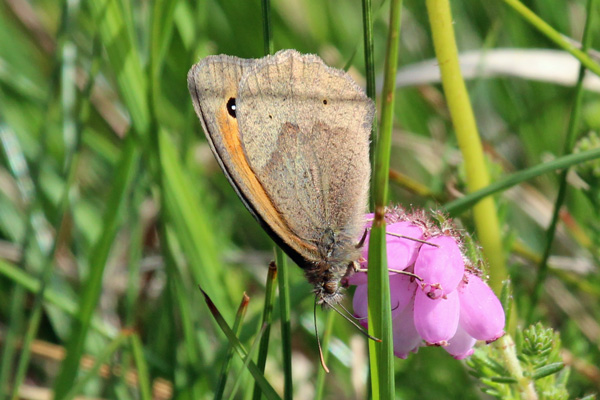 Meadow brown butterfly on the wal from Cuil Bay to Rubha Mor point