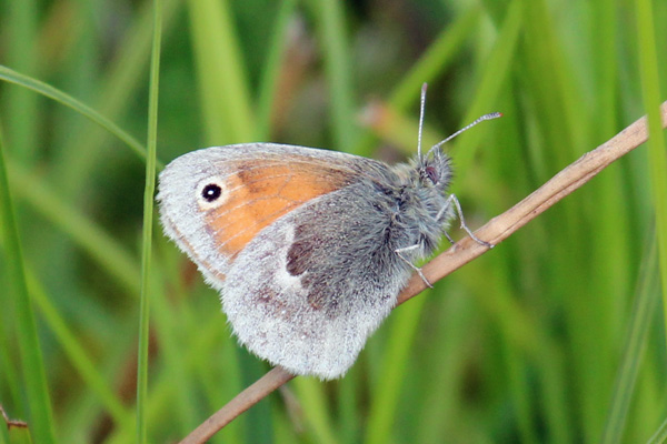 Small heath butterfly on the walk to Rubha Mor from Cuil Bay