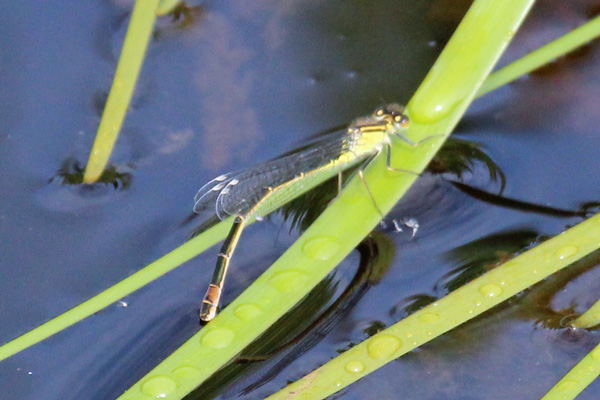 An immature female emerald damselfly