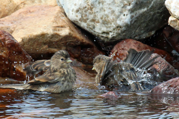 Young stonechats splashing about