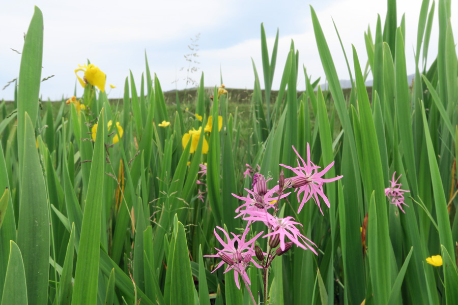 Ragged robin and yellow flag iris in July
