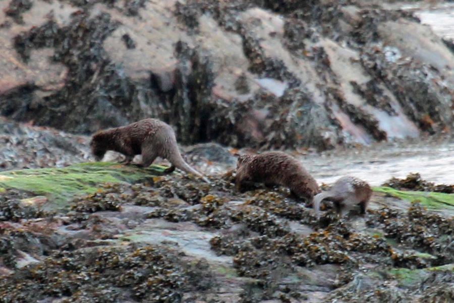 Three otters opposite The Garbh Eilean Wildlife Hide