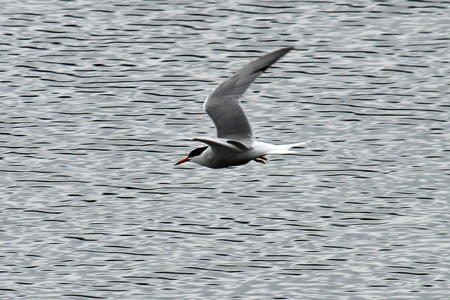 Common Terns visit Loch Sunart in the Spring