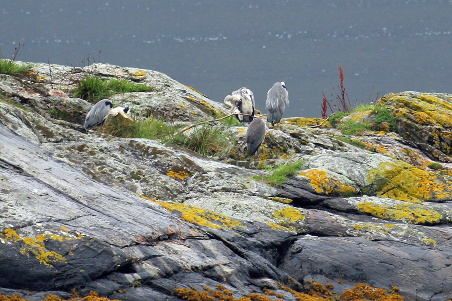 Herons on the rocks