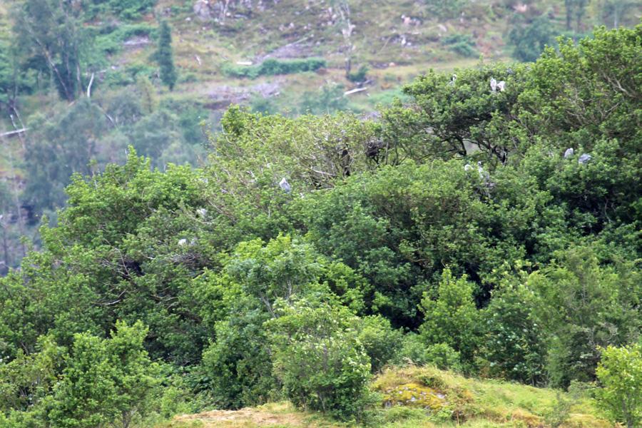 The heronry on Eilean a Chuilinn
