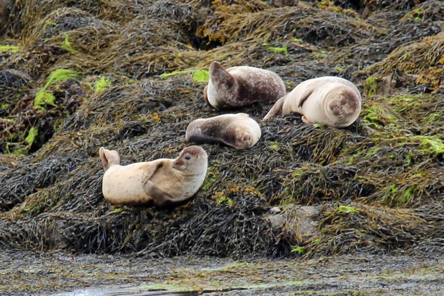 Common seals on Garbh Eilean