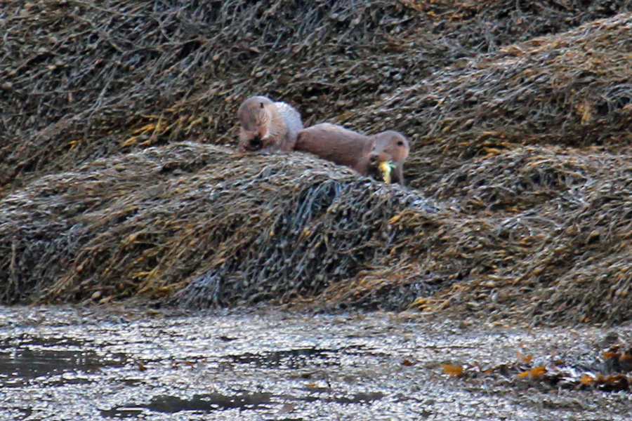 Otters on the rocks at Garbh Eilean