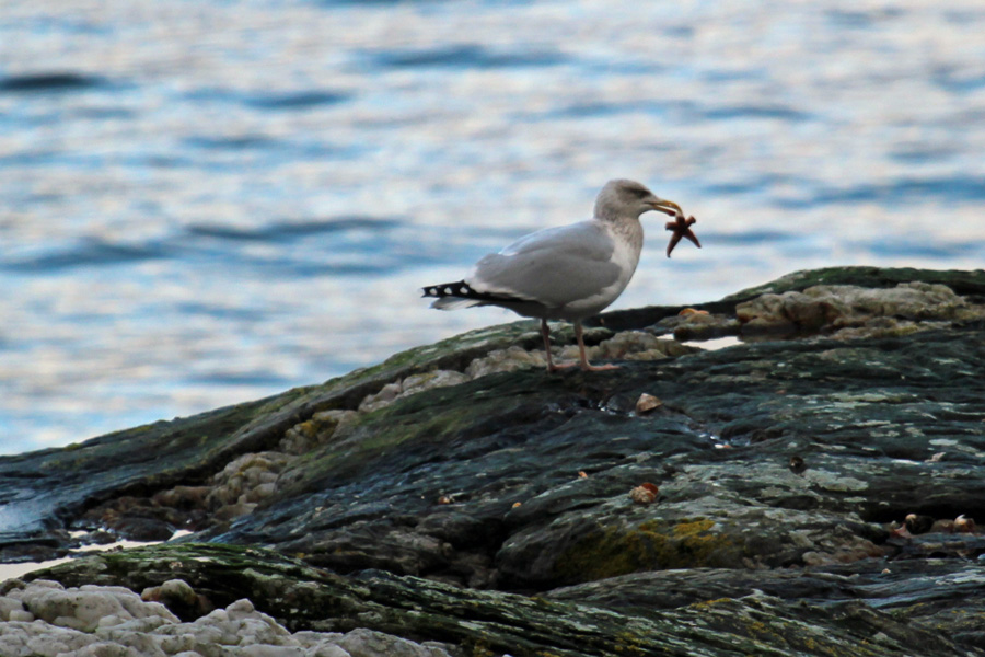 Hering gull with a starfish snack