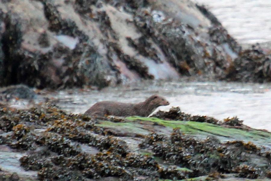 Otter on Garbh Eilean