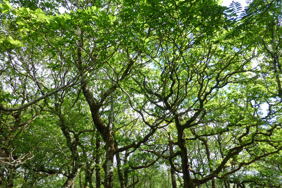 Enjoy the Atlantic Oakwood behind the Garbh Eilean wildife hide