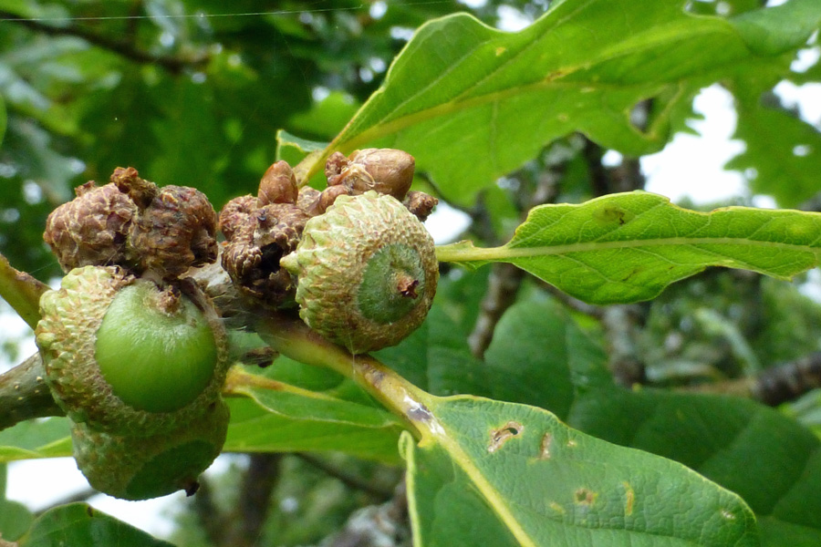 Acorns growing on the sessile oaks