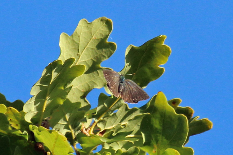 Look out for purple hairstreak butterflies in the top of the oak trees in July