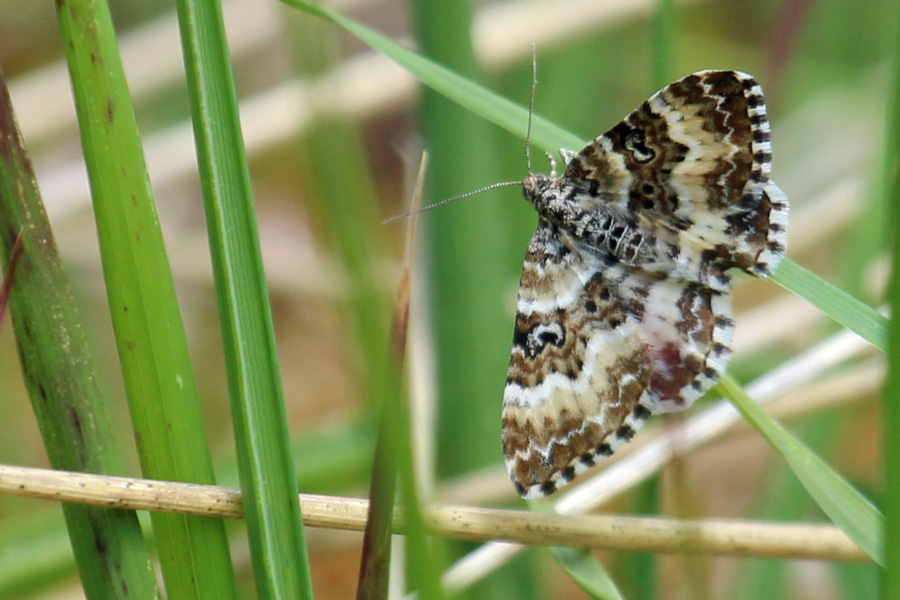 Female Small Argent & Sable (Epirrhoe trisata) at Glasdrum National Nature Reserve