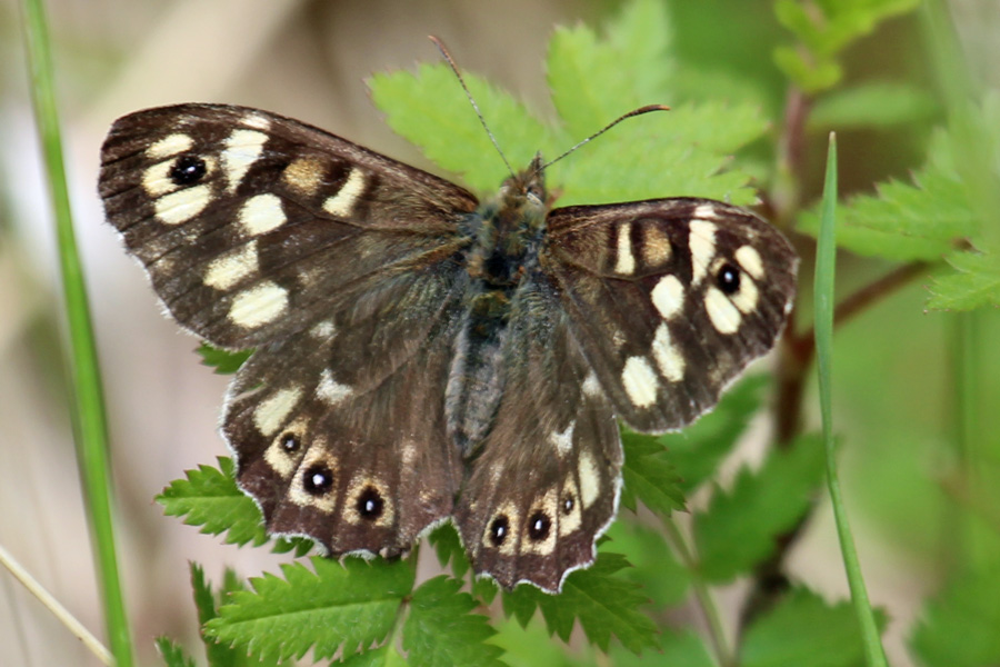 Speckled wood at Glasdrum National Nature Reserve