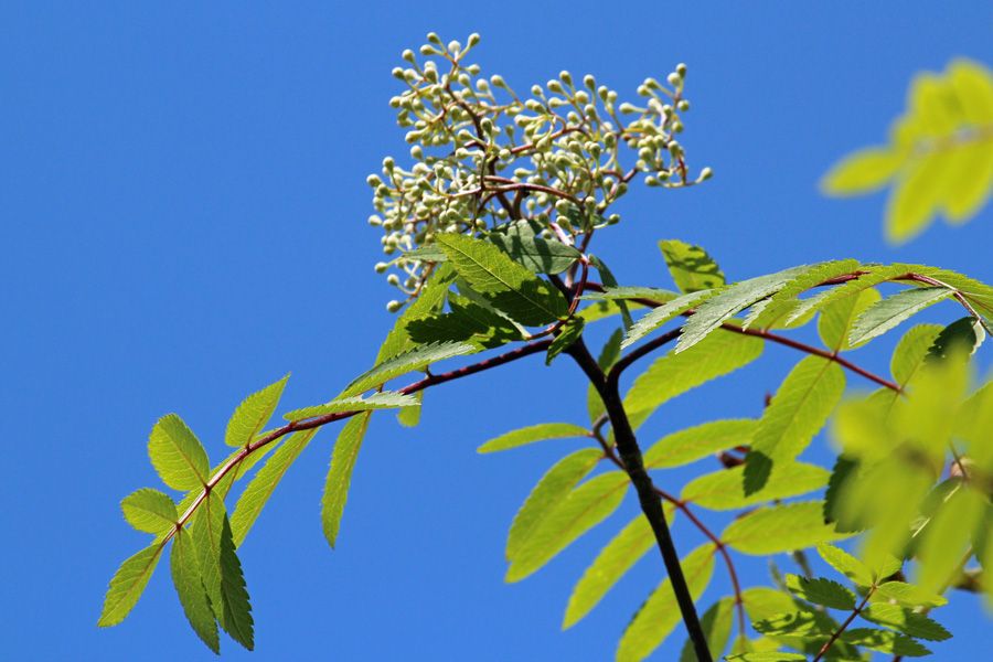 Rowan coming into flower in late May