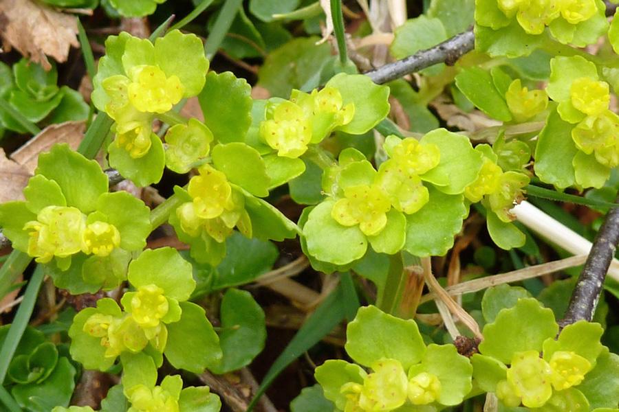 Opposite-leaved Golden-Saxifrage (Chrysosplenium oppositifolium) at Glasdrum National Nature Reserve