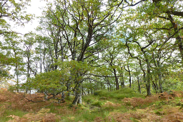 Glen Beasdale - view of the coastal sessile oak wood