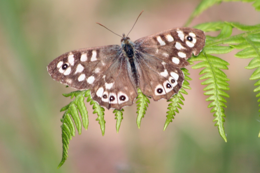 Speckled wood butterfly at Glenborrodale RSPB nature reserve