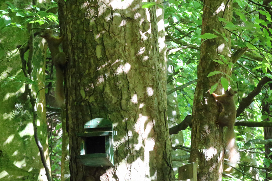 Inchree Red Squirrel Hotspot