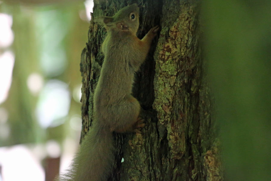 Red squirrel at Inchree