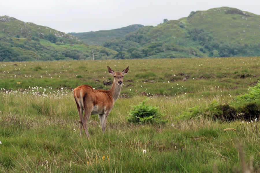 Red deer on Kentra Moss