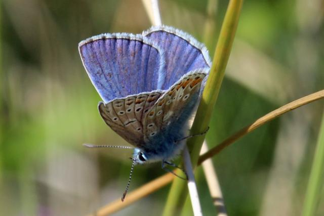 Male common blue butterfly flitting in the dunes at Sanna Bay