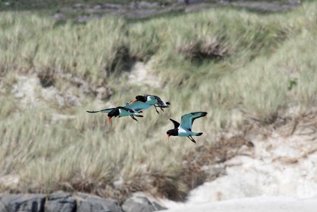 Oystercatchers at Sanna Bay