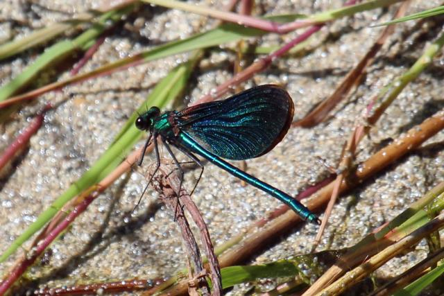 Beautiful demoiselle by the burn in the dunes at Sanna Bay