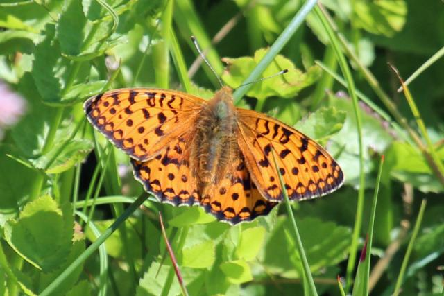Dark green fritillary at Sanna