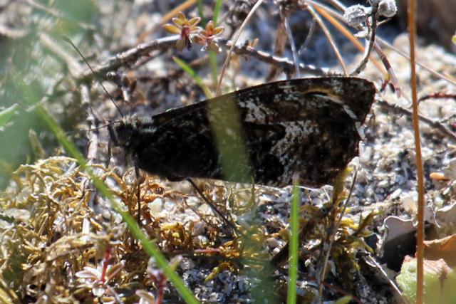 Grayling butterfly in the dunes at Sanna Bay