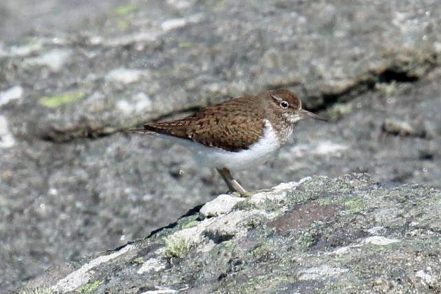 Sandpiper bobbing on the rocks at Sanna Bay