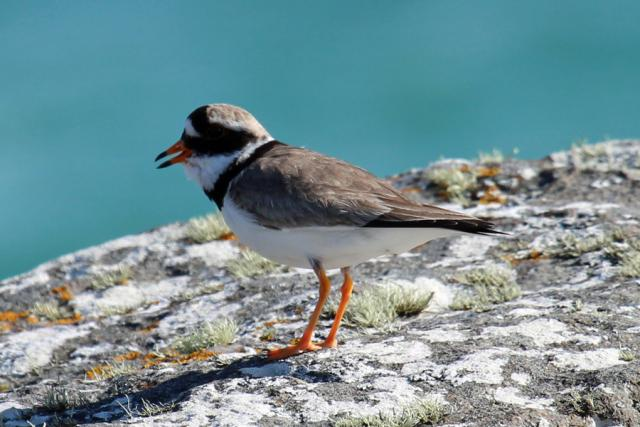 Ringed plover on the rocks at Sanna Bay