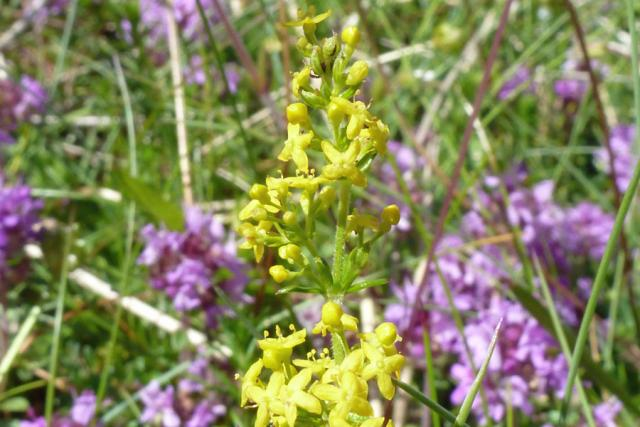 Lady's bedstraw and thyme on the dune slacks at Sanna