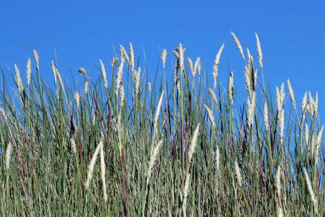Marram grass at Sanna Bay