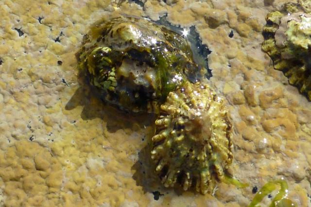The clash of the limpets