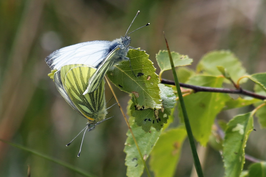 Green veined white butterflies in mid June