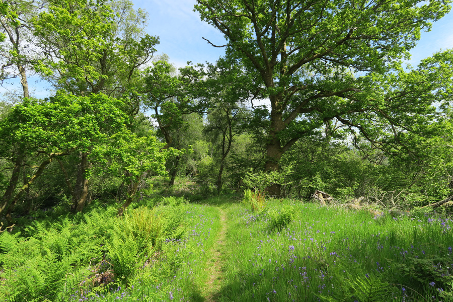 A carpet of bluebells and a luxuriance of ferns