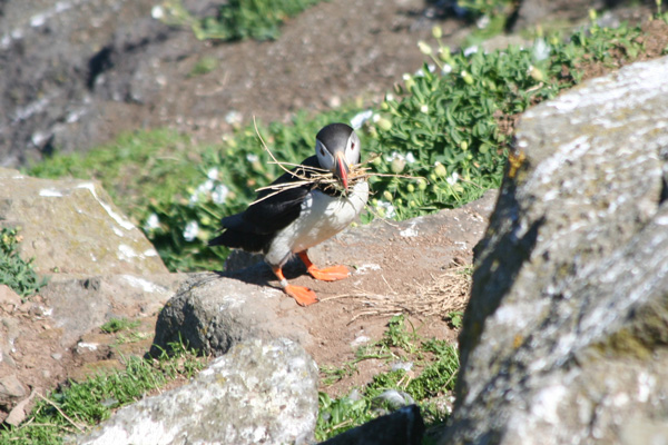 Puffin nesting near Harp Rock on The Isle of Lunga
