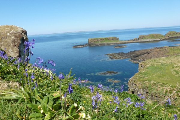 Bluebells and primroses on The Isle of Lunga
