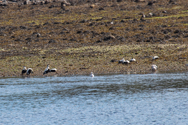 Eider duck and gulls on the shore line