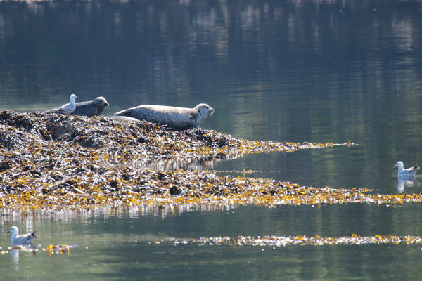 Common seals on Black Rock