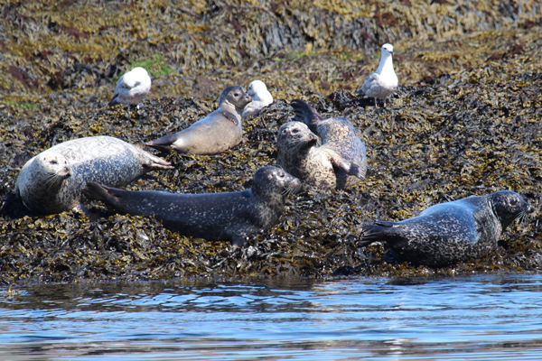 Good views of Common seals on Black Rock