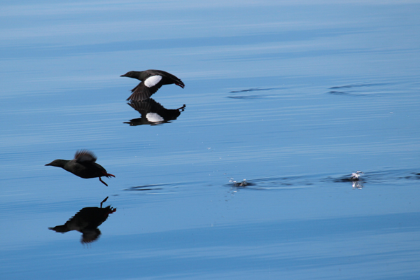 Black Guillemot taking off for a flight down Loch Linnhe