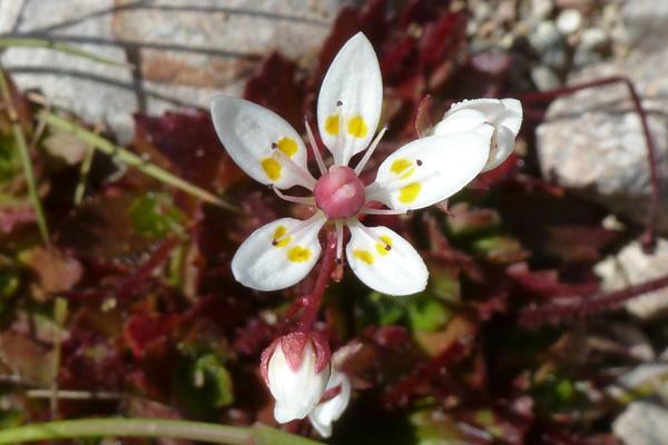 Starry saxifrage (Saxifraga stellaris) on Creag Dhubh