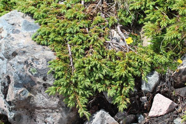 Juniper (Juniperus communis) on Creag Dhubh
