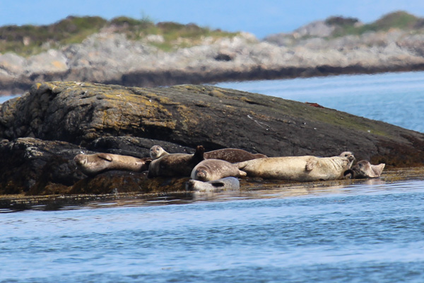 Seals near Arisaig