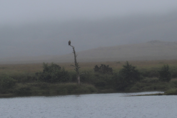 A white tailed eagle perched by the side of Claish Moss in September 2013