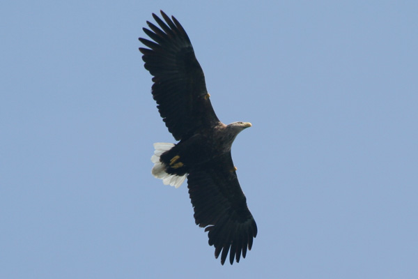 Sea eagle circling around the boat