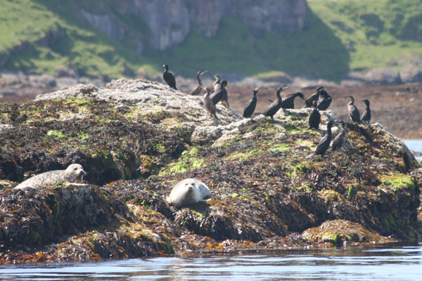 Shag and grey seals