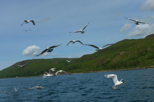 Picking up more gulls and attracting the attention of sea eagles